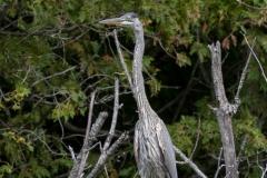Heron in Trees Watching