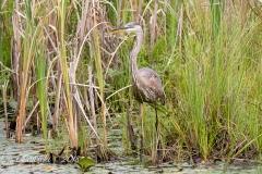 Heron in Belleville Marsh