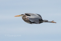 Flat Out Flying Heron