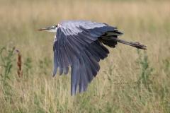 Low Flying Heron