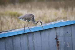 Surfaced Challenged Heron