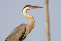 Posing Great Blue Heron
