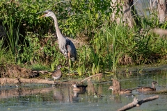Wood Ducks & Heron at Slaab Creek 2