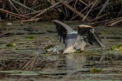 Diving Heron