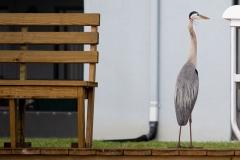 Heron Beside the Bench