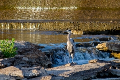 Belleville Dam Heron