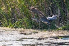 Heron Taking Off in Marsh