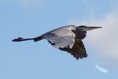 Heron in Flight in Blue Skies