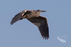 Heron Flying Forward