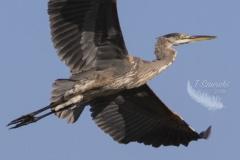 Full Out Flight Heron