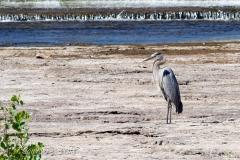 Heron in Belleville Waters