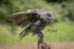 Great Grey Owlet