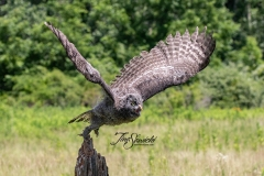 Great Grey Owlet Take Off