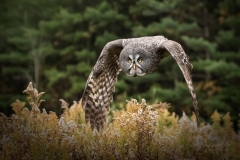 Great Grey Owl Dipping Wings