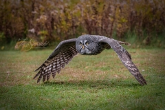 Great Grey Owl Wings Touch