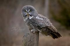 Great Grey Owl Posing