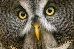 Great Grey Owl Zoom