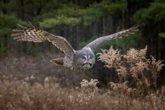 Great Grey Owl Flyby