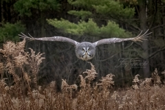 Great Grey Owl Coming at You