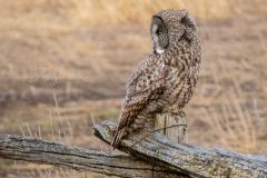 Great Grey Owl Looking Back