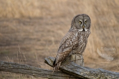 Great Grey Owl on Fence