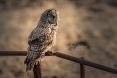 Great Grey Owl on Metal Fence
