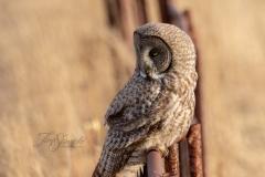 Great Grey Owl Linear
