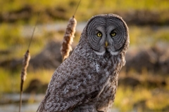 Great Grey Owl with Cattails