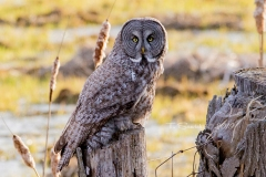 Great Grey Owl with Cat Tails
