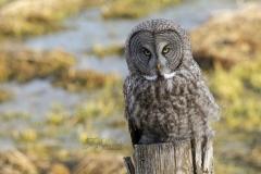 Great Grey Owl Swamp Background