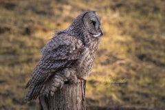 Great Grey Owl Looking Up