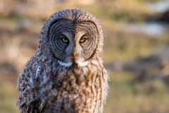 Great Grey Owl On Stump-click for full