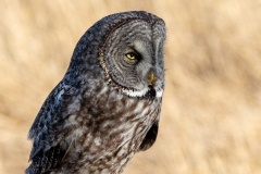Great Grey Owl 3 - click for full