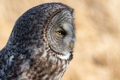 Great Grey Owl 2 - click for full