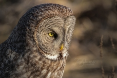 Great Grey Owl 4 - click for full