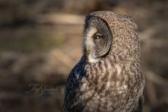 Great Grey Owl Looking Left