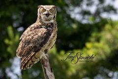 Great Horned Owl 10