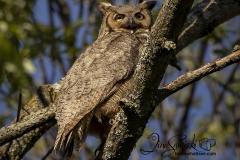 Great Horned Owl  Trenton