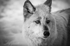 Black/White Wolf