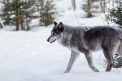Strutting Grey Wolf