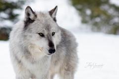 Posing Grey Wolf
