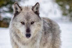 Gazing Grey Wolf