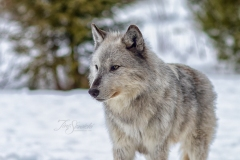 Watching Grey Wolf