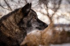 Grey Wolf Profile