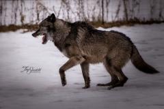 Grey Wolf Posing
