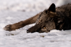 Grey Wolf Lying in the Snow