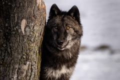 Grey Wolf by Tree - click for full
