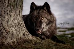 Grey Wolf by Tree