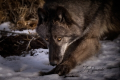 Grey Wolf Dipping