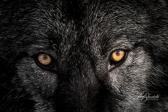 Grey Wolf Eyes